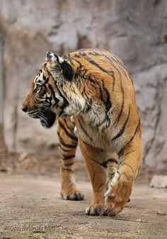 Can Cats Eat Peanut Butter Beautiful Cats, Animals Beautiful, Cute Animals, Big Cats, Cool Cats, Tigre Animal, Jaguar, Wild Cat Species, Tiger Artwork