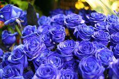 766 Best Blue Roses Images On Pinterest In 2019 Blue Roses Blue