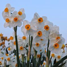 Die Narzisse 'Geranium' wurde von der Royal Horticultural Society mit dem Award of Garden Merit ausgezeichnet, sie ist also ausgezeichnet für den Garten geeignet. Pflanzzeit: Herbst - Online bestellbar bei www.fluwel.de