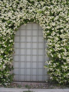 confederate jasmine, star jasmine, perfect for covering my chain link fence. Wall Climbing Plants, Climbing Vines, Climbing Flowering Vines, Evergreen Climbing Plants, Jasmine Star, Plante Jasmin, Trachelospermum Jasminoides, Perennials, Small Gardens