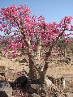 'Awoor (Adenium obesum/Desert Rose) - 1