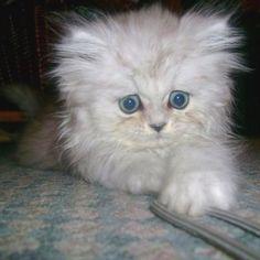 Babri - white Persian kitten