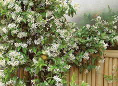 Jasmin étoilé (Trachelospermum jasminoides) Cette belle liane vigoureuse, au feuillage persistant, se distingue par une belle floraison blanche délicieusement parfumée. En automne, le feuillage vert sombre tourne au bronze plus ou moins intense, en fonction de l'exposition et des températures. Le Trachelospermum résiste à des froids de l'ordre de -10° C.   Feuillage persistant. Port Grimpant. Intérêt estival. Odorante.