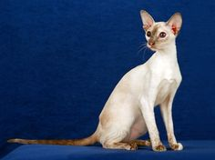 Amazing history of cat breed - Colorpoint Shorthair. Diseases of Colorpoint Shorthair. Farm Animals, Funny Animals, Colorpoint Shorthair, Tortoiseshell Tabby, American Shorthair, Warrior Cats, Funny Cat Pictures, Dog Names, Cat Breeds