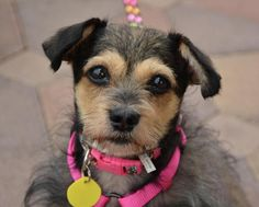 Meet Annabelle, an adoptable Terrier looking for a forever home. If you're looking for a new pet to adopt or want information on how to get involved with adoptable pets, Petfinder.com is a great resource.