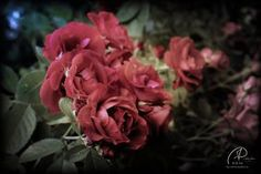 Roses by MD-Arts