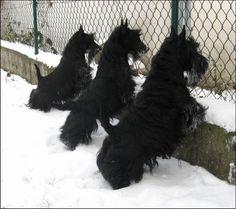 Scottish Terriers!