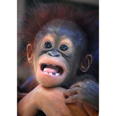 Cute Monkey Face , another funny picture of funny monkey variety, we post alot of Funny monkey Pictures of this series: - Cute Monkey Face Primates, Cute Baby Animals, Animals And Pets, Funny Animals, Types Of Monkeys, Baby Orangutan, Borneo Orangutan, Monkey See Monkey Do, Baboon