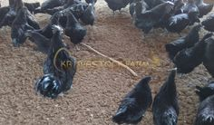 KB Livestock Farm (kblivestockfarm) on Pinterest