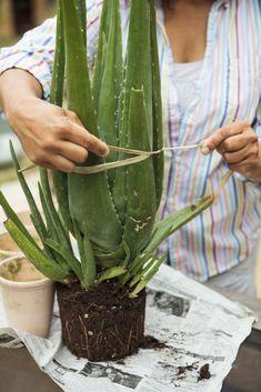 Green Garden, Aloe Vera Gel, Permaculture, Horticulture, Garden Paths, Amazing Gardens, Houseplants, Cactus Plants, Herbs