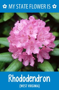 #WestVirginia's state flower is the Rhododendron. I found MY state flower on the Hometalk State Flower board. Find yours here: http://pinterest.com/hometalk/state-flowers/