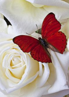 Red butterfly on white roses - by Garry Gay