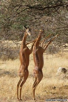 Gerenuk, a type of antelope, standing for a meal  Visit our Page -►Wildlife and Nature Pictures  ◄- For more photos