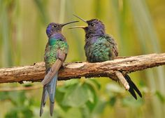 Swallow tailed humming birds