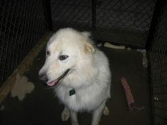 Riley Bug is an adoptable Great Pyrenees Dog in Winston-Salem, NC. Hi my name is Riley bug and I am a 2 yr. old neutered male. I am current on my vaccinations and on heartworm preventative. I get alon...