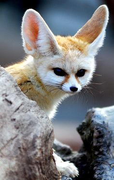 Fennec Fox by floridapfe Vulpes zerda Animals And Pets, Baby Animals, Funny Animals, Cute Animals, Strange Animals, Wild Animals, Fennec Fox, Beautiful Creatures, Animals Beautiful