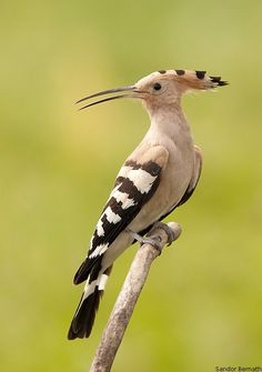 The Hoopoe /ˈhuːpuː/ (Upupa epops) is a colourful bird that is found across Afro-Eurasia, notable for its distinctive 'crown' of feathers.