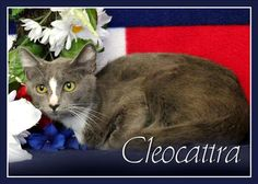 Cleocattra is an adoptable Domestic Short Hair searching for a forever family near San Gabriel, CA. Use Petfinder to find adoptable pets in your area.