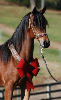 Beautiful Misty wants to be YOUR Christmas present....contact deb@amethystacres.com to join us for our Christmas With Arabians on December 6th! Arabian Horses For Sale, Bellisima, Egyptian, December, Join, Christmas, Animals, Beautiful, Horses