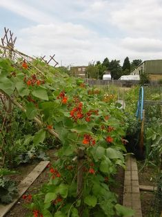Munty's runner bean frame in Growing FAQs and other Information - Page 4 of 19