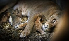Lion Cubs Born In Henderson « CBS Las Vegas, October 11, 2013.  Check out the great video from the LV Review Journal @ http://www.reviewjournal.com/multimedia/lion-habitat-ranch-welcomes-four-new-cubs