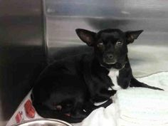 LIL' DEBBIE - URGENT - L.A. COUNTY ANIMAL CARE CONTROL: CARSON SHELTER in Gardena, CA -Chihuahua • Adult • Female