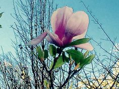 Early Spring Magnolia. #flowers #nature #katetarganmusic #spreadlight www.katetargan.com