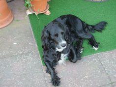 golden retriever pics | der hund hört auf den namen peggy. sie ist 4, 5 jahre alt. sehr ...