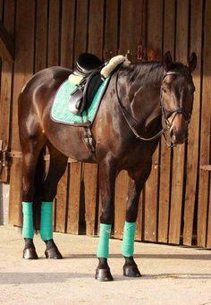 Bay horse tacked up with mint green Eskadron Cute Horses, Pretty Horses, Beautiful Horses, Equestrian Outfits, Equestrian Style, Equestrian Problems, English Horse Tack, Bay Horse, Horse Gear