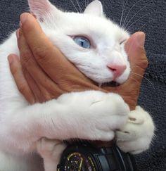 前の記事のレスにも書いたのだが、白猫の恐ろしい形相については決定版があるのだ。 ...