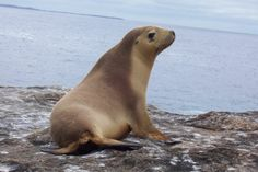 The Australian sea lion (Neophoca cinerea) is a species of sea lion that breeds only on the south and west coasts of Australia. They are a pinniped, most closely related to other species of sea lions and fur seals in the family Otariidae. About 14,730 Australian sea lions remain. This number s thought to be stable or slightly decreasing. The population is struggling due to their long and complicated breeding cycle, high site fidelity of females, and high mortality