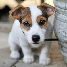 Cute Jack puppy