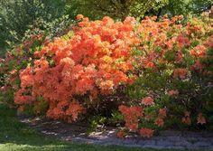 Atsaleat ovat helppohoitoisia pensaita, jotka kukkivat parhaiten auringossa. Kokeile kestäviä suomalaisia atsalealajikkeita. Lue lisää Viherpihasta.