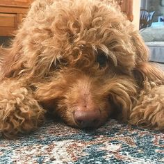 No squirrel 🐿 sightings today. All pouty about it. See more Instagram photos from one loveable Goldendoodle (@happygodoodle) You Doodle, Doodle Dog, Red Goldendoodle, Squirrel, Cute Pictures, Doodles, Puppies, Happy, Photos