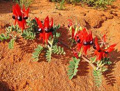 Sturt Desert Pea - native to Australia. Desert Flowers, Desert Plants, Tropical Flowers, Wild Flowers, Australian Wildflowers, Australian Native Flowers, Australian Plants, Australian Desert, Unusual Plants