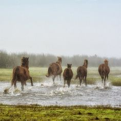 Wild horses, Bojagh National Park, Kiashahr, Gilan Province, Iran (Persian:  اسب هاى وحشى پارک ملى بوجاق, کياشهر, استان گيلان) Credit: Morteza Esfandiar