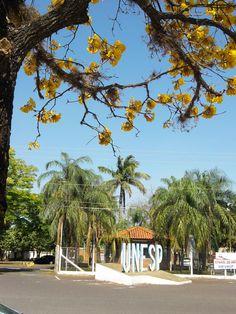 Entrada do Campus e o Ipê-amarelo - UNESP - Faculdade de Odontologia de Araçatuba
