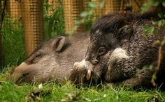 Rare warty pigs are lost when male eats his entire family at Bristol zoo Incident involving the ciritically endangered animals happened shortly before a rare monkey was eaten by otters and three lorikeets escaped