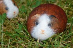 guinea pig painted rock stone art by Buntes SteinAtelier