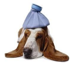 Familia Basset Hound: Seu cachorro pode pegar gripe? O que fazer?
