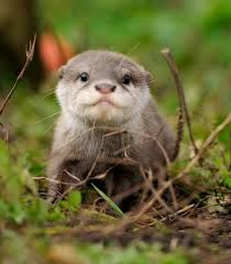 baby otter - Google Search