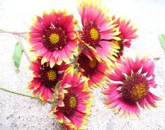 Oklahoma Wildflower -- Gaillardia Pulchella; Indian Blanket; blanketflower