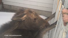 Video of a baby moose caught in fence goes viral ||| Watch News Videos Online