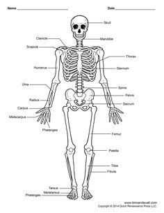 Labelled Human Skeleton Printable Human Skeleton Diagram - Labeled, Unlabeled, And Blank