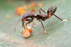 An ant-mimicking bug tastes a seed in an Australian rainforest. Note how light patches on the bug's body give the false impression of a narrow ant waist and neck.