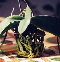 Traggo queste informazioni da questo sito francese molto interessante, dove avevo reperito i suggerimenti di coltivazione delle mie piante.... Orchid Plants, Orchid Care, Cactus Y Suculentas, Plant Care, Horticulture, House Plants, Flower Arrangements, Plant Leaves, Seeds