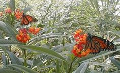 How to Create a Monarch Butterfly Garden thumbnail