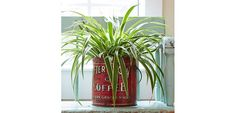 Exotic Angel houseplants add style and interest to your home or office. Learn more about these indoor plants, including plant pictures and growing tips. Chlorophytum, Garden Catalogs, Spider Plants, Plant Pictures, Garden Trellis, Garden Plants, Vintage Coffee, Plant Holders, Gardens
