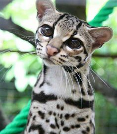 The Margay (Leopardus wiedii) is a small spotted cat (up to 9 lbs) that roams the rainforests from Mexico to Argentina. A skillful climber, it is one of only two cat species with the ankle flexibility necessary to climb head-first down trees. Small Wild Cats, Big Cats, Cute Cats, Ocelot, Animals And Pets, Baby Animals, Cute Animals, Beautiful Cats, Animals Beautiful