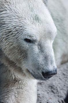 Polar Bear   John Bencina Photography
